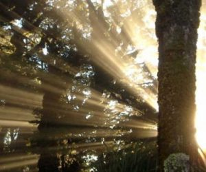 croppedimage630338-sunrays-thru-beech-forest